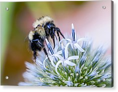 Bumblebee On Thistle Blossom Acrylic Print by Marty Saccone