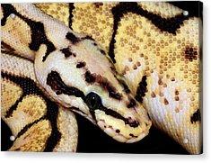 Bumblebee Royal Python Acrylic Print