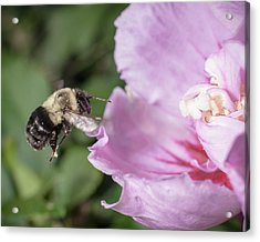 bumblebee to Rose of Sharon Acrylic Print