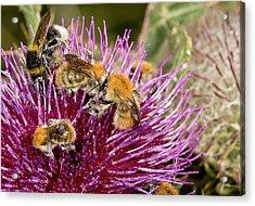 Bumblebees Feeding On Thistle Flower Acrylic Print by Bob Gibbons