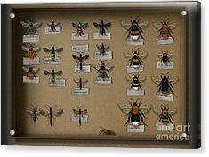 Bumblebees - Wild Bees - Wesps - Yellow Jackets - Ichneumon Flies - Apiformes Vespulas Hymenopteras  Acrylic Print by Urft Valley Art