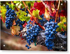 Bunch Of Blue Grapes On The Vine Acrylic Print by George Oze