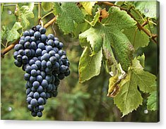 Bunch Of Grapes Acrylic Print by Paulo Goncalves