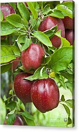Bunch Of Red Apples Acrylic Print by Anthony Sacco