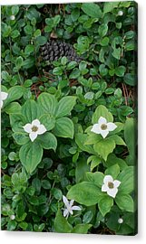 Acrylic Print featuring the photograph Bunchberry by Ken Dietz