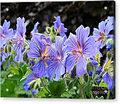 Bunches Acrylic Print by Clare Bevan