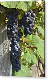 Bunches Of Grapes Acrylic Print