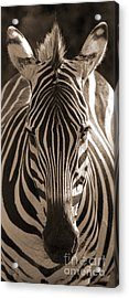 Acrylic Print featuring the photograph Burchell's Zebra by Chris Scroggins