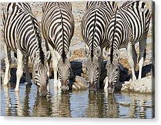 Burchells Zebras Drinking Etosha Np Acrylic Print