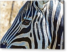 Burchell's Zebra's Face In Kruger National Park-south Africa Acrylic Print by Ruth Hager