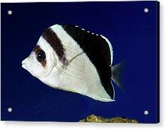 Burgess' Butterflyfish Acrylic Print by Nigel Downer