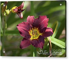 Burgundy Day Lily 20120706_24 Acrylic Print by Tina Hopkins