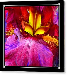 Burgundy Iris Enhanced Acrylic Print