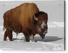 Burly Bison Acrylic Print by Priscilla Burgers