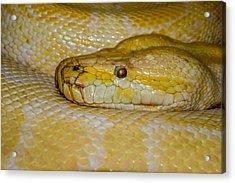 Burmese Python Acrylic Print by Ernie Echols