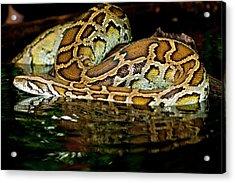 Burmese Python, Python Molurus Acrylic Print