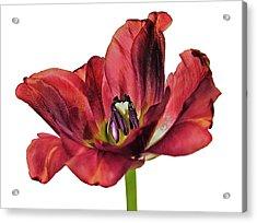 Burning Tulip Acrylic Print