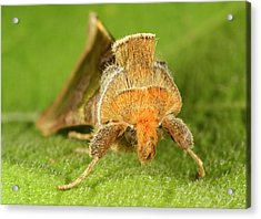 Burnished Brass Moth Acrylic Print by Nigel Downer