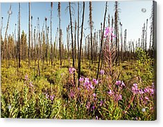 Burnt Forest Acrylic Print by Ashley Cooper
