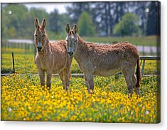 Burros In The Buttercups Acrylic Print by Suzanne Stout