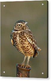 Burrowing Owl At Sunset Acrylic Print by Doug Herr