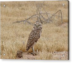 Burrowing Owl Acrylic Print by Beverly Guilliams