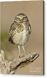 Acrylic Print featuring the photograph Burrowing Owl by Bryan Keil