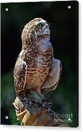 Acrylic Print featuring the photograph Burrowing Owl by Debby Pueschel
