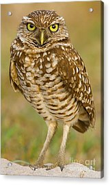 Burrowing Owl Acrylic Print by Jerry Fornarotto