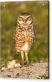 Burrowing Owl Acrylic Print by Joshua Clark
