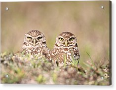 Burrowing Owl Pair Acrylic Print