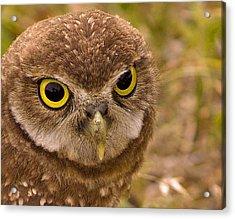 Burrowing Owl Portrait Acrylic Print by Anne Rodkin
