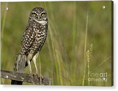 Burrowing Owl Stare Acrylic Print by Meg Rousher