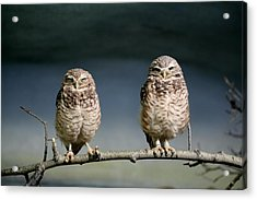 Burrowing Owls Acrylic Print by Larry Trupp