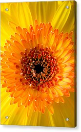 Burst Of Sunshine Acrylic Print by Shelby  Young