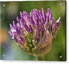 Bursting Allium Purple Sensation Acrylic Print by Rona Black