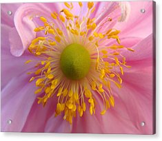 Windflower Acrylic Print by Cheryl Hoyle