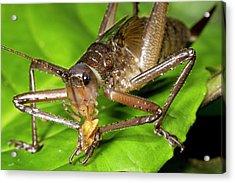 Bush Cricket Feeding Acrylic Print by Dr Morley Read