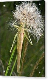 Bush-cricket On Dandelion Clock Acrylic Print by Bob Gibbons