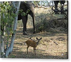 Bushbuck And Elephant In A Forest, Toka Acrylic Print by Panoramic Images