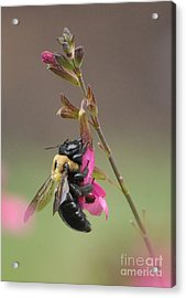 Busy As A Bee Acrylic Print by Kathy Baccari