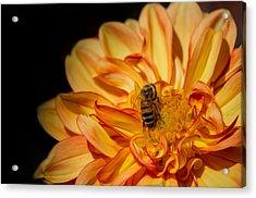 Busy Bee Dahlia Acrylic Print