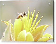 Busy Bee Acrylic Print by Luna Curran