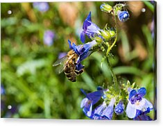 Acrylic Print featuring the photograph Busy Bee by Rhys Arithson