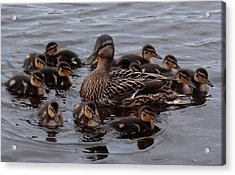 Busy Mum Acrylic Print by Peter Skelton