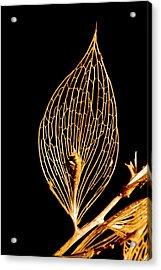 Butcher's Broom Leaf Skeleton Acrylic Print