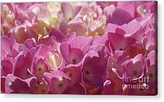 Buttercream Acrylic Print by Linda Shafer