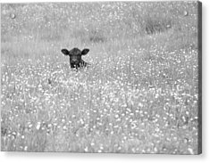 Buttercup In Black-and-white Acrylic Print