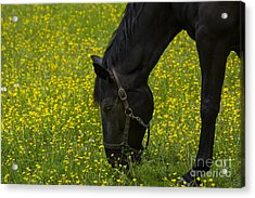 Buttercup Food Acrylic Print