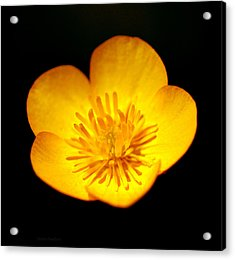 Acrylic Print featuring the photograph Buttercup by Steven Poulton